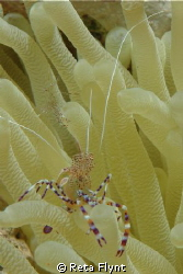 Spotted Cleaner Shrimp by Reta Flynt 